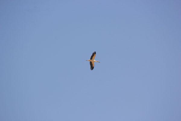 Storch am Lac Iriki