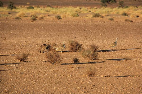 unbekannte Vögel Nähe Standplatz Piste Mhamid - Zagora