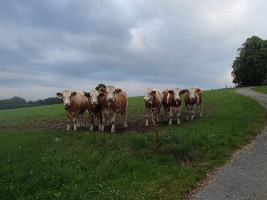 interessierte Rinder