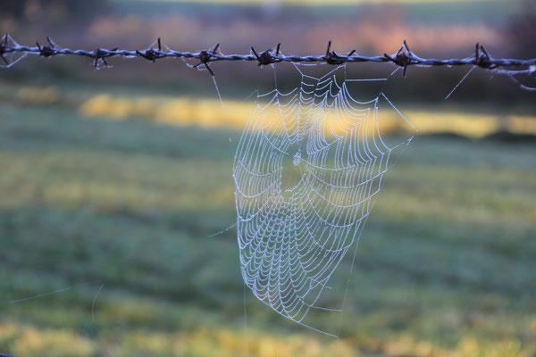 Spinne im Morgenlicht