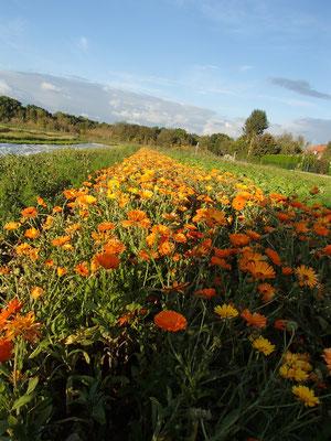 Herbstliches Blumenfeld