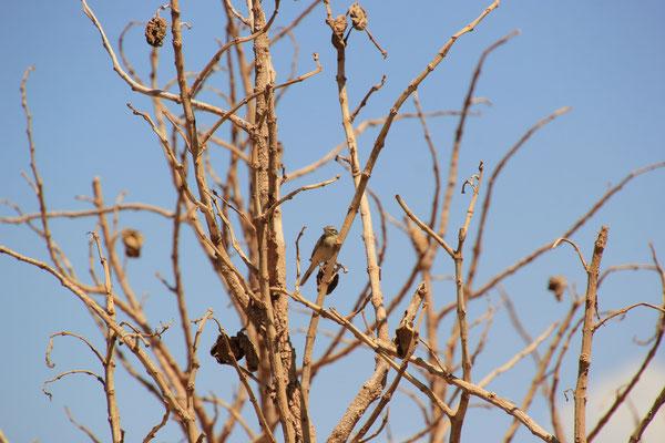 Vogelwelt in der Wüste