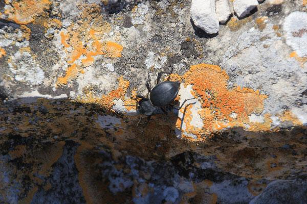 Käfer, Pena di Fraile