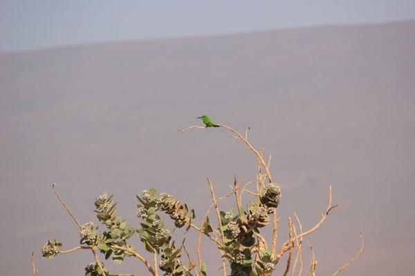 grüner Vogel in der Wüste