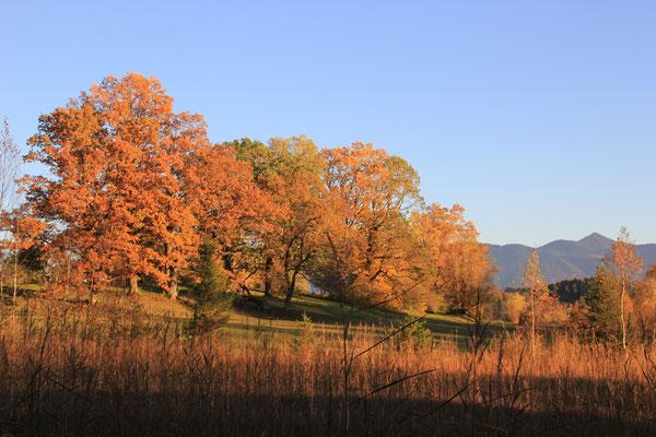 alte Eichen im Herbst