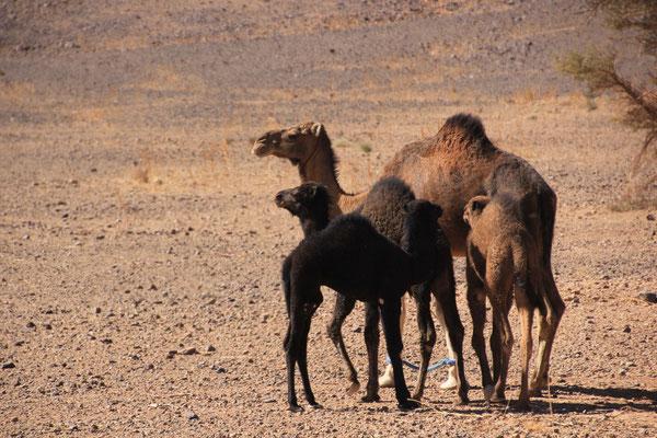 Kamele auf der Piste Mhamid-Zagora