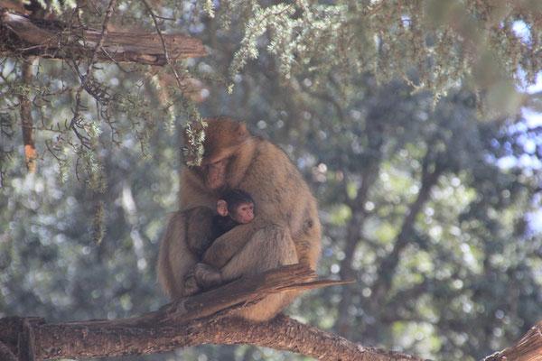 Affenmama bei der großen Zeder, Nähe Azrou