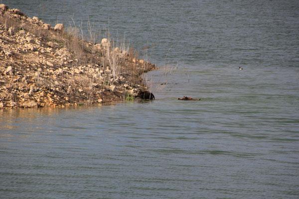 schwimmende Wildscheine, Standplatz Embalse de Esperanza