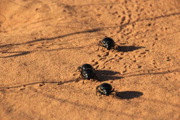 Käferrennen, Nähe Standplatz 5, Zagora-Merzouga