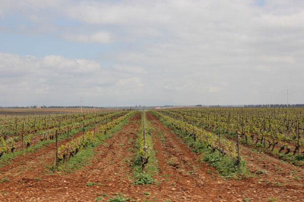 Weinanbau Richtung Meknes
