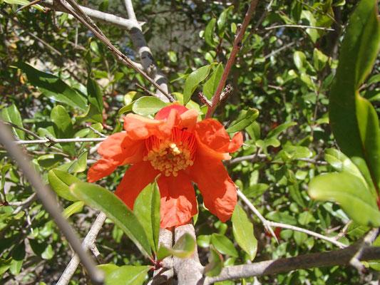 Granatapfelblüte am Platz