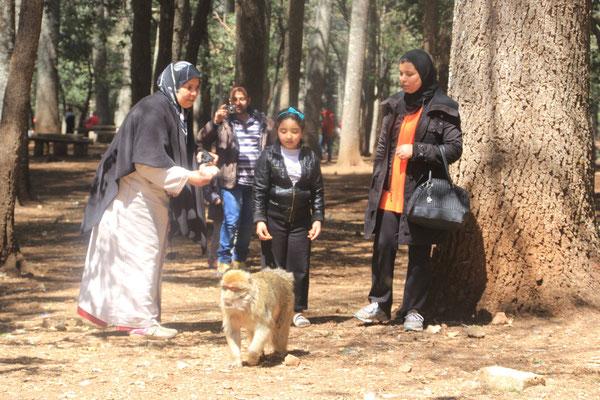 Fütterung der Affen bei der großen Zeder Nähe Azrou