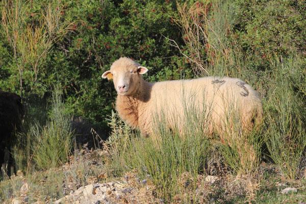 Schaf  Gargante verde
