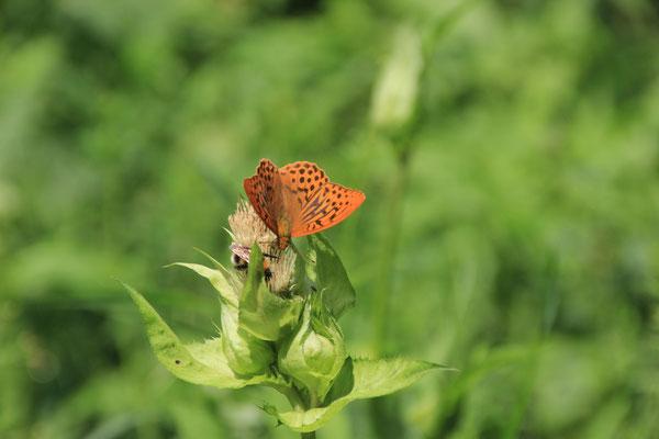 Schmetterling, Donautal