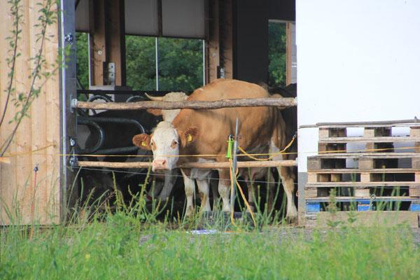 Kühe schauen zu
