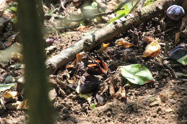 Schmetterling unterm Pflaumenbaum