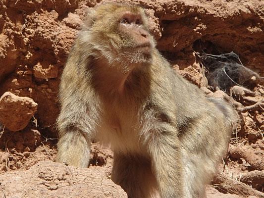 Affe bei den Wasserfällen