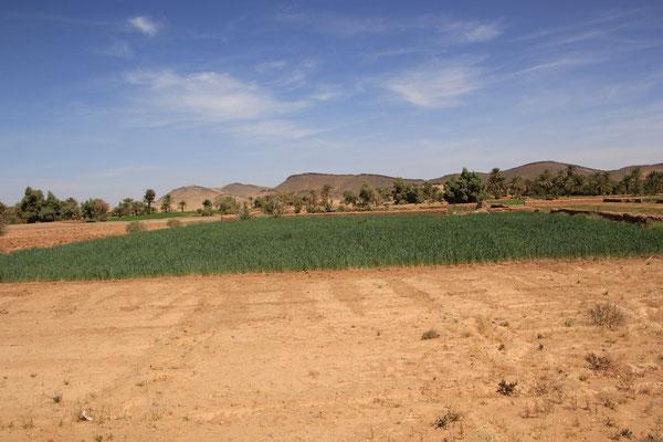 Getreidefeld in Oum Ijrane