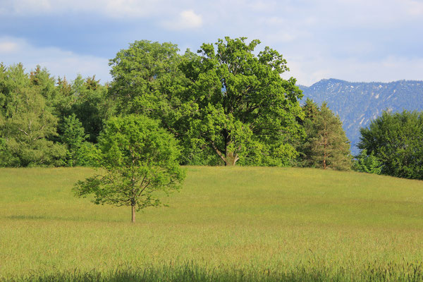 Eichenwald am Staffelsee