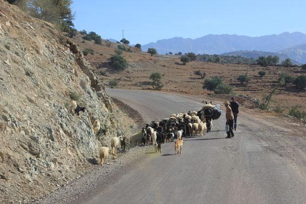 Ziegenherde auf der Strecke nach Tafraoute