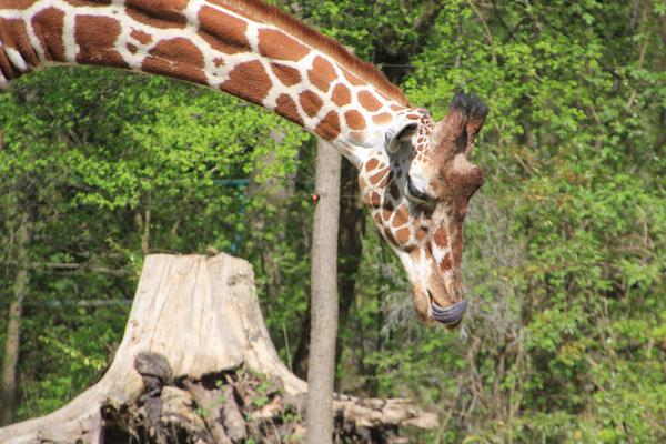 blaue Giraffenzunge