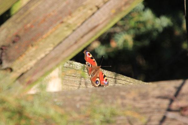 später  Schmetterling