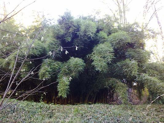 Autunno 2013 - Decine di specie di bambù presso azienda agricola Essenza del Bambù, Piemonte.