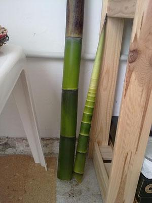 2011 - Giovane bambù, laboratorio Capranica (Vt).
