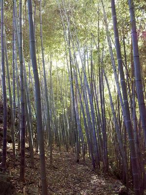 Autunno 2013 - Elegante e fiabesco bambuseto...presso azienda agricola Essenza del Bambù, Piemonte.