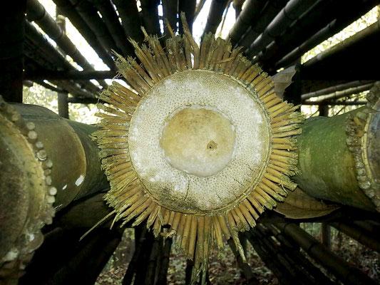 Autunno 2013 - Come un sole: radici a raggiera presso azienda agricola Essenza del Bambù, Piemonte.