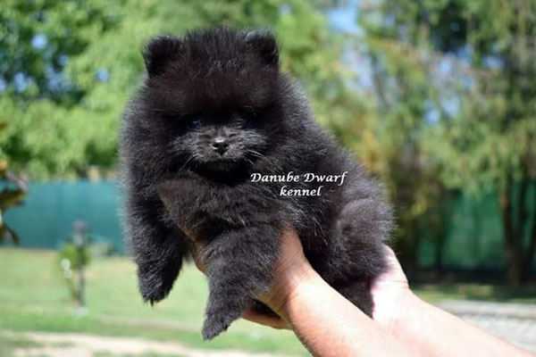 Puppies at new homes A1-Z1 - Сайт danubedwarf!