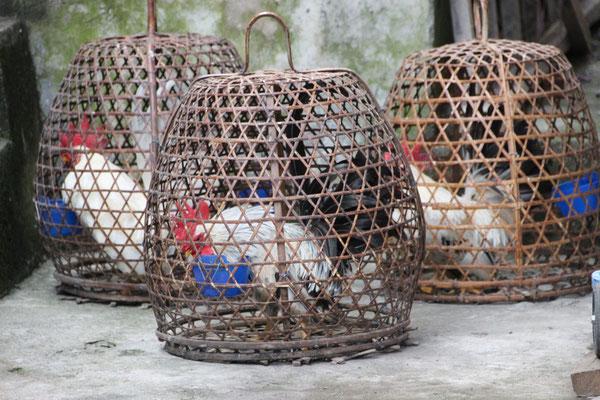 Bereit für die Hahnenkämpfe
