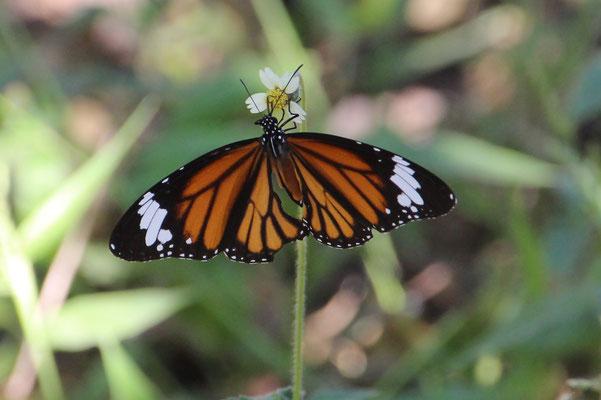 Schmetterlingsschönheit in Chiang Mai