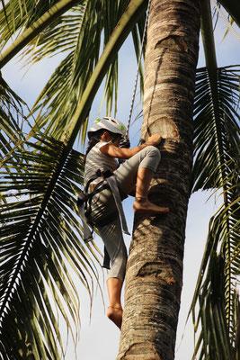 Sport: Kokosnusspalm-Klettern, Bali