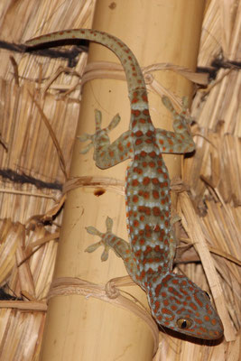 Grosser Gecko, Green Camp