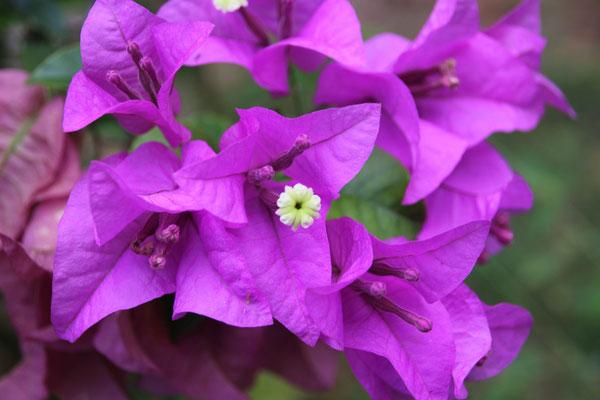 Blüten in unserem Garten, Thung Wua Laen Beach