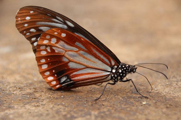 Wunderwelt der Schmetterlinge, Cuc Phuong NP
