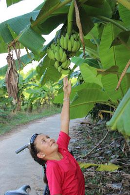 Bananen frisch vom Strauch, Thailand
