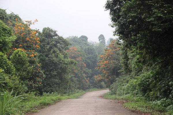 Viele blühende Bäume säumen den Weg durch den Cuc Phuong NP