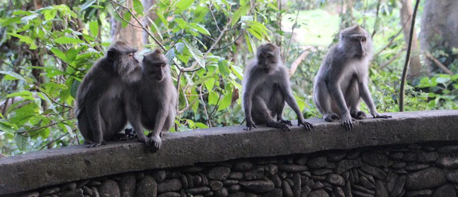 Affen im Monkey Forest, Ubud
