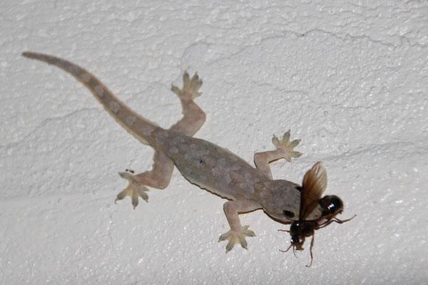 Gefrässiger Gecko