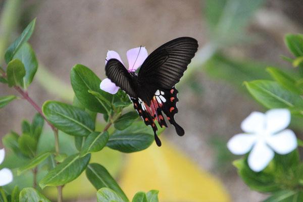 Schmetterling auf Koh Jum