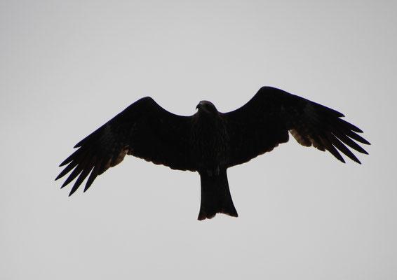 Unzählige Raubvögel kreisen zwischen den Karstfelsen der Halong Bucht