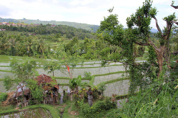 Reisterassen in der Bergregion um Munduk