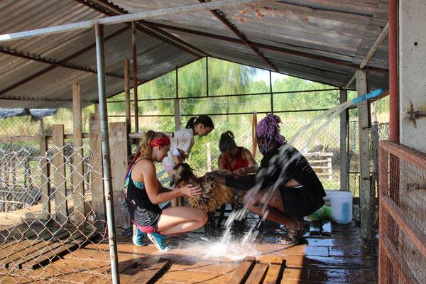 Schafe waschen auf der Tierfarm in Suanphung
