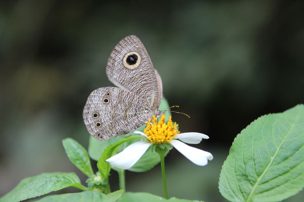 Viele bunte Schmetterlinge, Cuc Phuong NP
