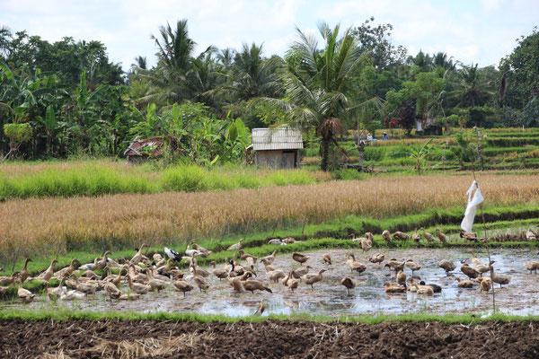 Nach der Reisernte säubern Enten die Felder