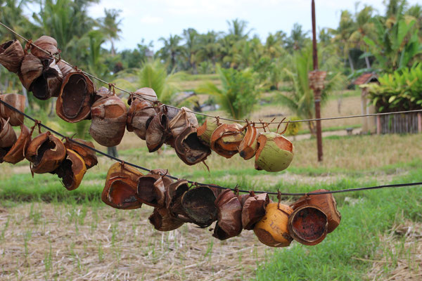 Kokosnusschalen werden zum trocknen aufgehängt und später als Feuerholz verwendet