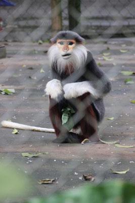 Seltene Affen im Primatenschutzzentrum, Cuc Phuong Nationalpark