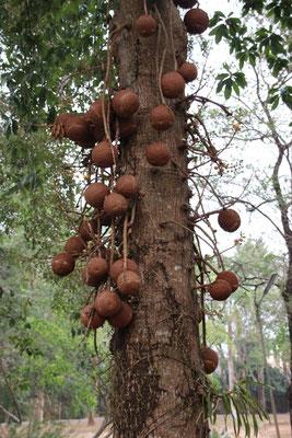 Baumstammfrüchte, Trat